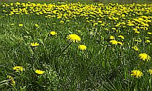 Plants Used For Medicine - Dandelion