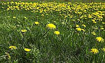 Plants Used For Medicine - Dandelion