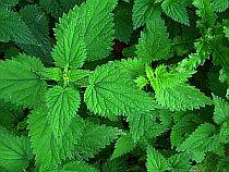 Plants Used For Medicine - Nettle
