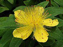 Plants Used For Medicine - St. John's Wort