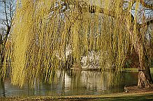 Plants Used For Medicine - Willow
