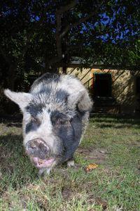 Famous Pigs - Clarissa