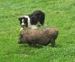 Potbellied Pigs - Pig and Dog