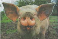 newspaper pig