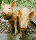 Famous Pigs-Tamworth Two