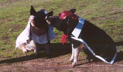 Famous Pigs - The Wonder Pigs